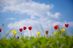 Cvijeće (Kuzz1984) Tags: cvijeće flowers promenade šetnica županja hrvatska slavonija croatia spring grass proljeće tulips tulipani