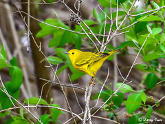 YELLOW WARBLER (male, breeding plumage)) (imeshome) Tags: 200500mm lake nikon trees wildwood male nature migration warbler yellow