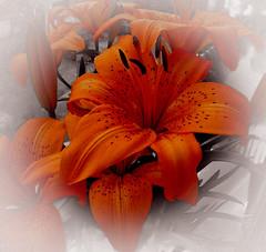 Flores de Mamãe e Papai (Serlunar (tks for 5.4 million views)) Tags: serlunar flores de mamae e papai da aurea lucia