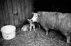 FILM - Nuzzle (fishyfish_arcade) Tags: 35mm analogphotography bw blackwhite blackandwhite filmisnotdead fomapan100 istillshootfilm monochrome olympus olympussuperzoom105g analogcamera compact film mono sheep ewe lamb