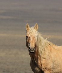 Gold Dust II (chad.hanson) Tags: mustangs wyoming reddesert wildhorses wildlife