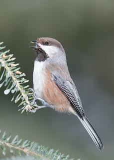 Mésange à tête brune - Poecile hudsonicus - Boreal Chickadee