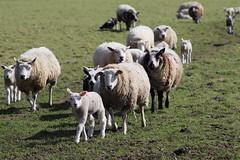 going home again ,Dinner time (excellentzebu1050) Tags: sheepslambsinthefieldmarch2017 sheep lamb lambs newlife newborn farm field animals oudoors countryside coth5