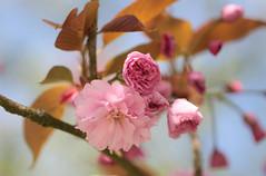 (mennomenno.) Tags: blossom bloesem lente spring