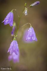 Tautropfenblüte (Mich_Lu) Tags: blume blüte tropfen morgentau pflanze makro