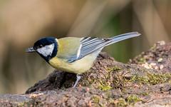 Great tit. (greeny 1) Tags: greattit nature wildlife rspb leightonmoss birds birding silverdale olympus 300mm omd