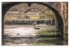 Heron & Duck (mickreynolds) Tags: 2017 50200 comayo ireland mallriver nx500 westport wildatlanticway heron grey duck bird water spring bridge arches
