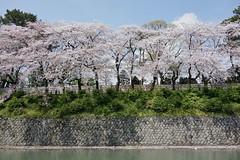 season of cherry blossoms (peaceful-jp-scenery (busy)) Tags: sakura cherryblossoms someiyoshino spring flower shizuoka sunpujoupark 駿府公園 桜 ソメイヨシノ 春 葵区 静岡市 日本 sony cybershot dscrx100 carlzeiss 28100mmf1849 20mp