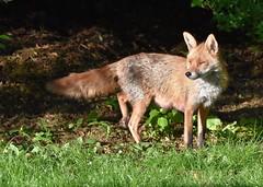 Vixen in the garden (Clare_leeloo) Tags: fox vixen redfox mammals nature wildlife