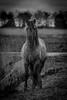 Konik horse in black & white (madphotographers) Tags: konik konikpaarden oostvaardersplassen nature wild wilderness horses horse