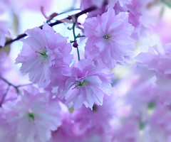 The Beauty of Life (Mazzlo) Tags: blossom flower cherry tree nikon d5500 spring japan beauty life