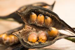 365-106 [explored] (Letua) Tags: semillas macro amarillo seeds yellow macromondays tres texturas theree textures