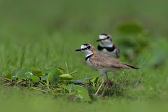 Collared Plover (Greg Lavaty Photography) Tags: collaredplover charadriuscollaris costarica march bird nature wildlife plover shorebird neotropical outdoors tropical photographytrip