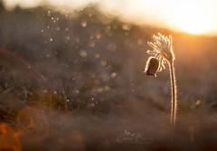 Pulsatilla V. (Inspiring Nature Photography) Tags: pulsatillanigricans spring flower light bokeh dof sunset sunrise sun meyeroptikgörlitz oreston orestonf1850mm