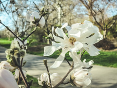 magnolia in the sunshine (jojoannabanana) Tags: 3652017 bloom bokeh canonpowershot color dreamy flowers highlandpark magnolia nature park path petals rochester spring sunlight s100 tree