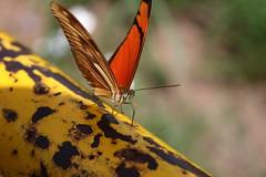 Borboleta bairro São João JM - Wir Caetano - 26 04 2017 (38) (dabliê texto imagem - Comunicação Visual e Jorn) Tags: borboleta inseto amarelo escada ferrugem