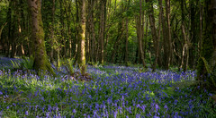 Blue Carpet. (Tony Brierton) Tags: 27417 blue bluebells cowicklow devilsglen flora flower forest countywicklow ireland