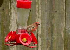 House Finch (DeepBlueHarp) Tags: house finch