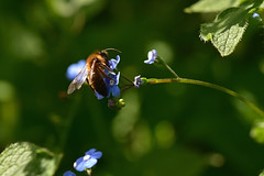 Forget-me-bee