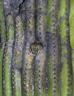 Elf Owl - Nesting / Saguaro Cactus (Explored 4-28-17)
