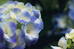 Blue is Beautiful [17/52] (Jam-Gloom) Tags: olympusuk olympusomdem5 olympusomd omd em5 uk flower floral florals flowers flowerphotography floralphotography flora macro 60mmmacro 60mm28 60mmmacro28 depthoffield bokeh bokehlicious bokehful blue blueflower bluefloral blueflowers hydrangea hydrangeaceae 1752 week17 17 52 project week weeks project52 52weeks 52weekproject project522017 2017
