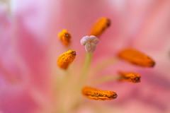 Flower stems (PaulHoo) Tags: nikon closeup flora macro flower stem pink orange detail 2017 color vibrant colorful dof bokeh subtle soft
