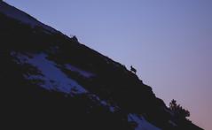 Chamois sur les crêtes du Mont Ventoux (rom_guerin) Tags: chamois mountain goat wild wildlife nature ventoux mont montagne provence animal sky landscape night end day snow ridges magic