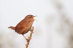 troglodyte mignon ( Troglodytes troglodytes ) Erdeven 170422v2 (papé alain) Tags: oiseaux passereaux troglodytidés troglodytemignon troglodytestroglodytes eurasianwren erdeven morbihan bretagne france