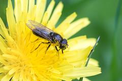 Cheilosia albitarsis / Gewoon Weidegitje (peter.lindenburg) Tags: biesbosch hoverfly syrphidae zweefvlieg cheilosiaalbitarsis gewoonweidegitje