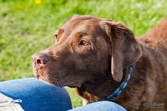 Emma (antowo1) Tags: chocolatelabrador labrador wildlife nature natur obst niedersachsen ferien urlaub elbe stade hamburg altesland