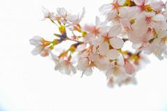 Sakura Tree (VMP photography) Tags: sakura washington dc cherryblossom tree travel capitol usa united unitedstates landmarks monuments jefferson lincoln