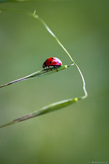 cox-003 (bonacherajf) Tags: corse corsica coccinelle insecte macro