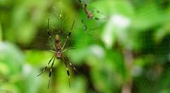 Örümcek (Dünya Turu Günlükleri) Tags: spider örümcek orman nature dünya turu travel trip tour world sırtçantalı ağ yeşil seyahat seyyah sahil cahuita costa rica carabian coast animal