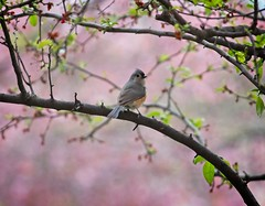 Tufted Titmouse (Goggla) Tags: nyc new york manhattan east village tompkins square park urban wildlife bird tufted titmouse spring