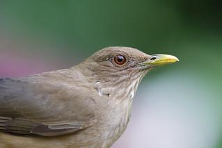 Costa Rica's National Bird