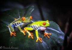 2 ranitas (barragan1941) Tags: batracios costarica fauna ranas reptiles