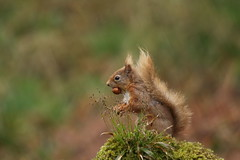 Red Squirrel (Colin Rigney) Tags: nature wildlife colinrigney canoneos7d wild spring outdoor outside scotland scottishwildlife redsquirrel red moss