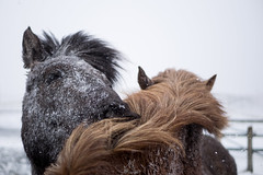 Solidarity (NأT) Tags: iceland islande horse horses cheval chevaux solidarité solidarity cold winter neige snow snowing hug hugs friend friends photographie photography portrait portraits animal animaux animals olympus omd em1 zuiko