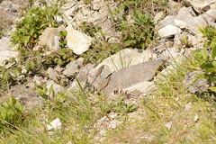 Wall Lizards (Podarcis muralis) - pair in quarry habitat (willjatkins) Tags: lizard lizards lizardsofeurope walllizard podarcismuralis podarcis nonnativespecies nonnativereptiles alienwildlife alienreptiles ukwildlife ukreptilesandamphibians ukamphibiansandreptiles ukreptiles uklizards quarrywildlife britishwildlife britishamphibiansandreptiles britishreptilesandamphibians britishreptiles britishlizards dorsetwildlife dorsetreptiles dorsetlizards portlandwildlife isleofportland nikond7100 sigma105mm