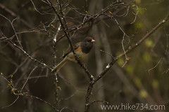 """Dark-eyed Junco • <a style=""""font-size:0.8em;"""" href=""""http://www.flickr.com/photos/63501323@N07/8757122789/"""" target=""""_blank"""">View on Flickr</a>"""