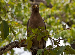 crested-serpent-eagle (R. Srikant) Tags: birds br eagle hills jungle serpent crested forests