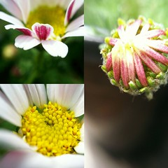 English Daisy (Eyebright17) Tags: pink white flower macro green english daisy fotor olloclip