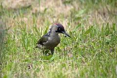 Wet woodpecker (Matt Ibbs) Tags: las bird forest spring poland polska wildanimal picusviridis ptak wiosna wielkopolska 2013 dzięciołzielony