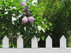 picket (lesparfumsdelamer) Tags: pink white flower green leaves fence garden picket favoritegarden