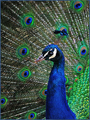 Dressed to Impress (jo92photos) Tags: blue portrait green bird eyes display feathers peacock cock explore courtship bealepark ©allrightsreserved westberkshire jo92photos f770exr