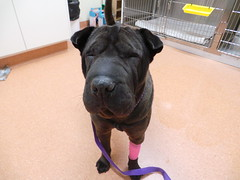 Wichety (Rayya The Vet) Tags: dog vet canine anaesthetic sharpei lumpectomy vetsurgery