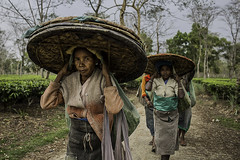 portrait of the women Tea picker with the big hat near Dibrugarh,  Assam, India (anthony pappone photography) Tags: travel portrait india girl field hat work canon photo women asia tea photojournalism hindu assam ritratto teagarden hindi reportage bighat dibrugarh traditionals indiane girlbeauty womenwork pickerwoman