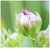 046 (imagepoetry) Tags: pink light flower macro green garden pretty blossom bokeh sigma ten grün blüte gar 70mm tinyflower hübsch a65 imagepoetry sonyalpha