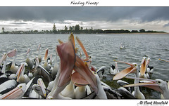 Feeding Frenzy (Trent Blomfield) Tags: fish tourism pelicans birds coast day feeding time central australia pelican tourist backpacking rainy nsw feed spectacled