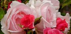 Rosen (EherAnders) Tags: pink flower green nature rose natur pflanze rosa m grn elegant blume blatt blte bltter knospe blten